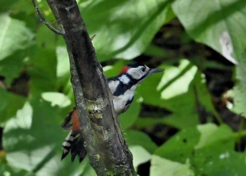 アカゲラ♂幼鳥3021