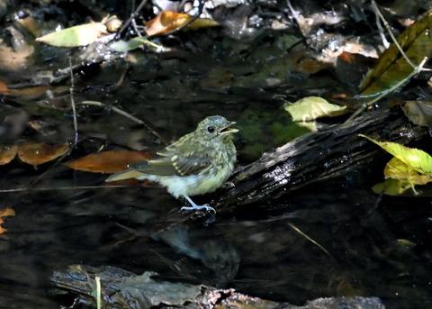 キビタキ幼鳥3438