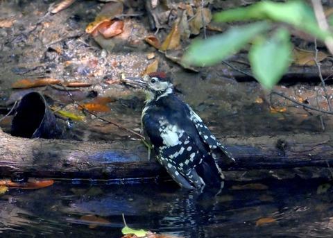 アカゲラ♂幼鳥3676
