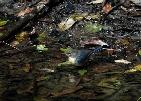 コルリ♂幼鳥4084