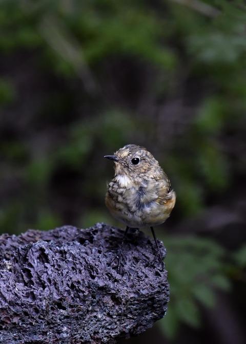 ルリビタキ幼鳥1464