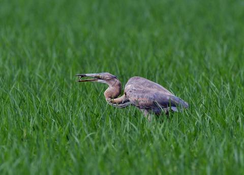 ムラサキサギ若鳥2880