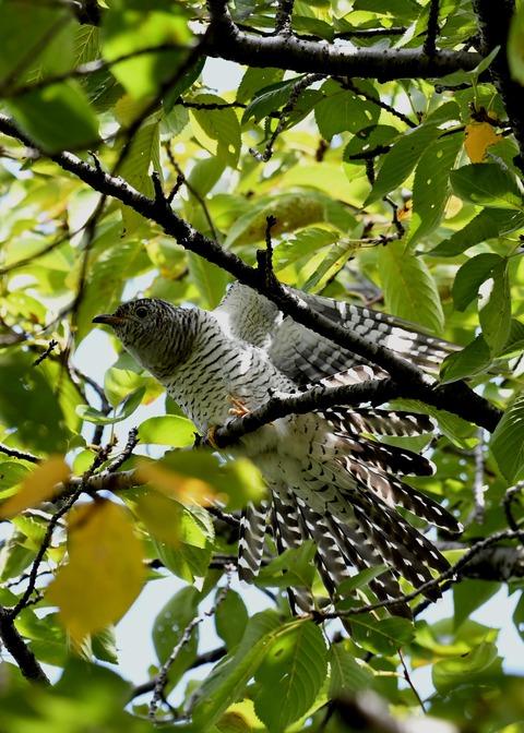 ツツドリ幼鳥6233
