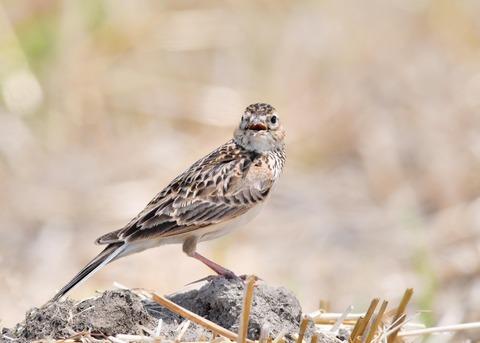 ヒバリ若鳥3751
