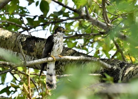 ジュウイチ幼鳥2890