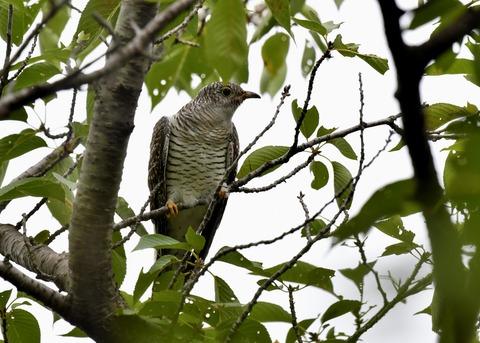 ツツドリ幼鳥5571