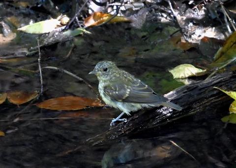 キビタキ幼鳥3479