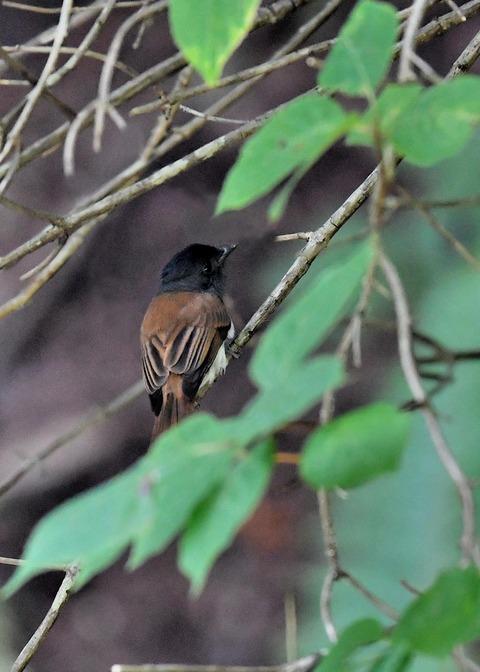 サンコウチョウ幼鳥5650