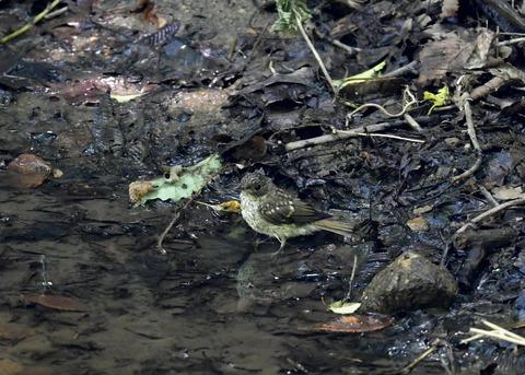 キビタキ幼鳥7514