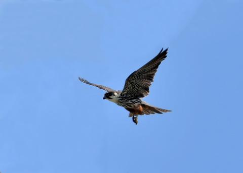 飛ぶ・チゴハヤブサ♂0073