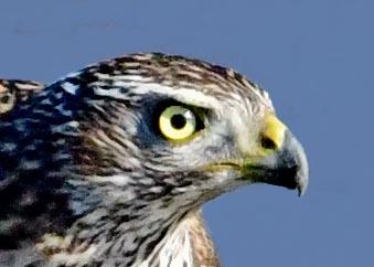 オオタカ若鳥0701(768)