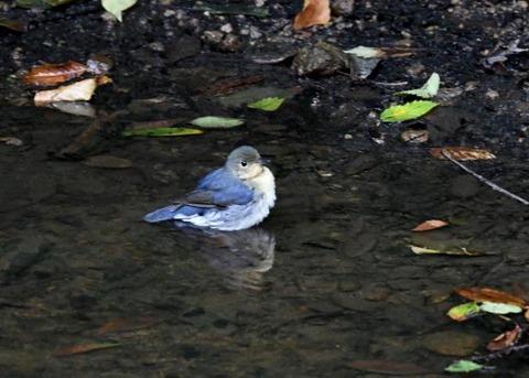 コルリ♂幼鳥7291