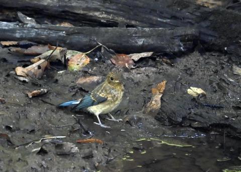 オオルリ♂幼鳥4306
