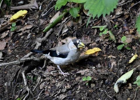 イカル幼鳥1215