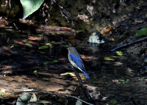 オオルリ幼鳥♂8145
