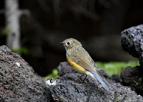 ルリビタキ幼鳥0874