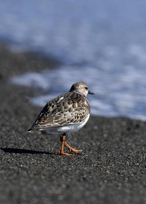 キョウジョシギ幼鳥5984