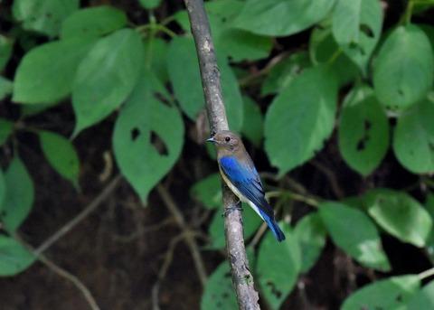 オオルリ♂幼鳥4100