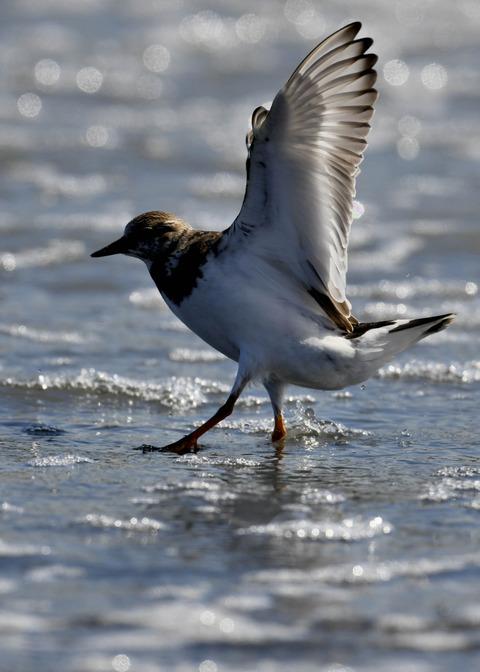 キョウジョシギ幼鳥5819