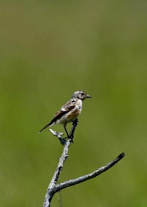 ノビタキ幼鳥5205