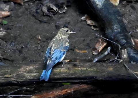 オオルリ幼鳥②6620