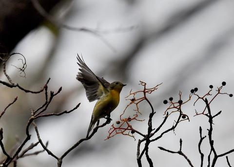 飛ぶ・ムギマキ♀5318