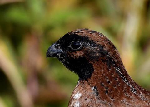 コリンウズラ若鳥1583
