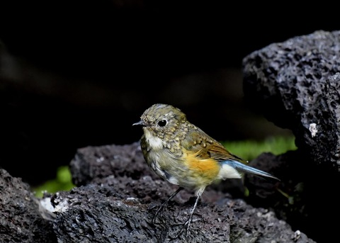 ルリビタキ幼鳥0895