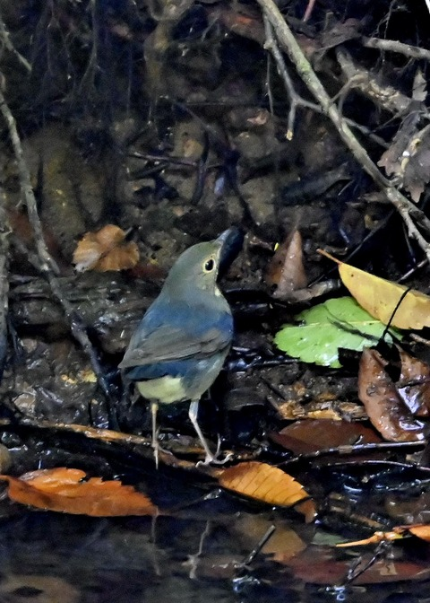 コルリ♂幼鳥2616