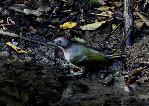 アオゲラ幼鳥♂8555