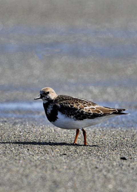 キョウジョシギ幼鳥5846