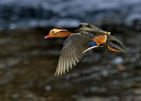 飛ぶオシドリ♂3319