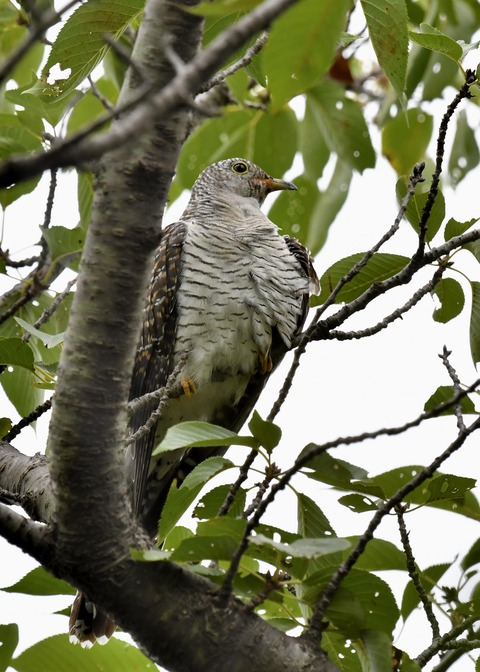 ツツドリ幼鳥5638