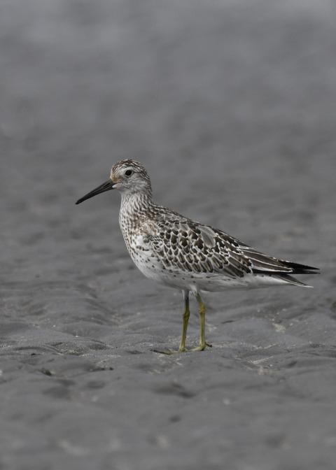 オバシギ幼鳥4496