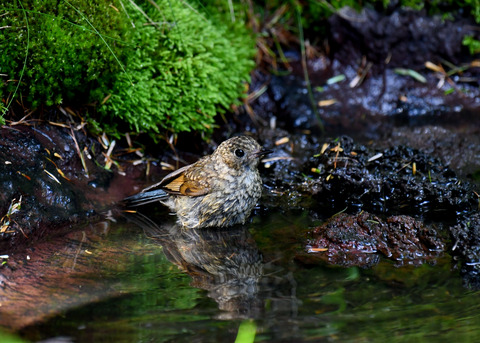 ルリビタキ幼鳥1920