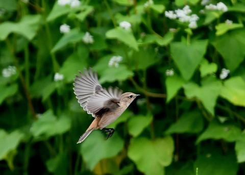 飛ぶ・ノビタキ♀9374