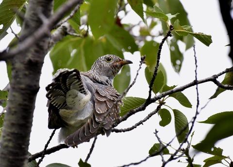 ツツドリ幼鳥5501