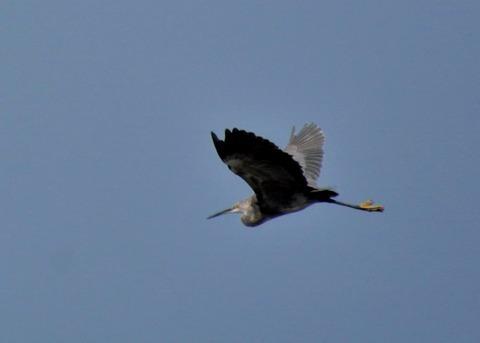 飛ぶ・コサギ・暗色型4473