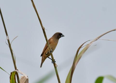 キンパラ幼鳥1581