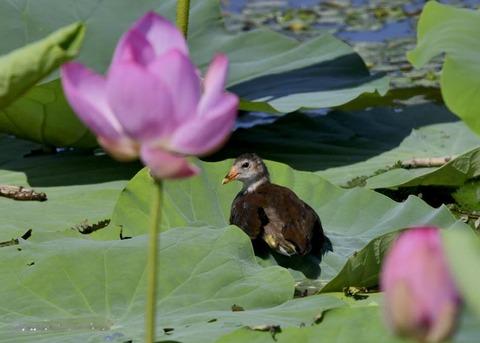 バン若鳥4112