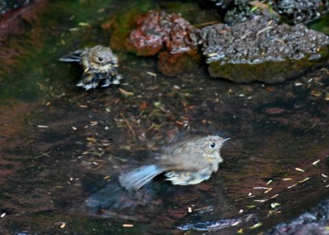 ルリビタキ幼鳥8260