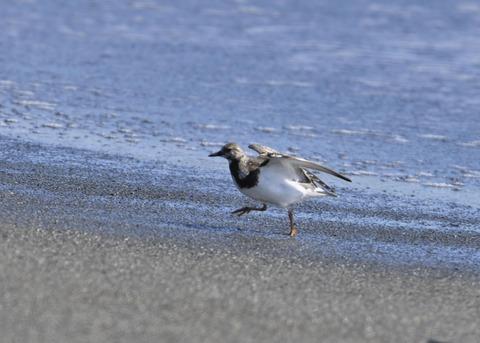 キョウジョシギ幼鳥6048