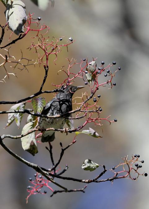 クロツグミ幼鳥3347