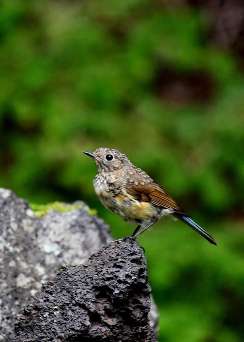 ルリビタキ幼鳥3371