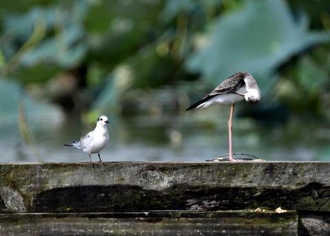 クロハラアジサシ幼鳥3198