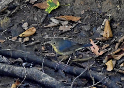コルリ♂幼鳥2565