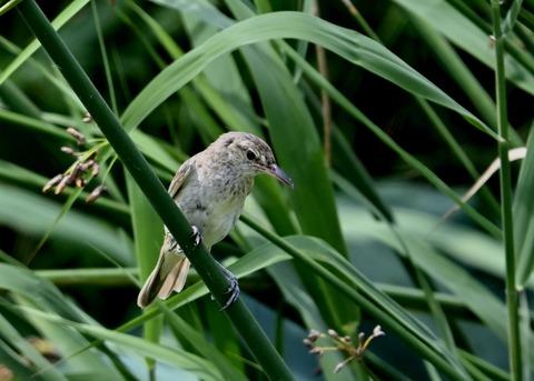 オオヨシキリ幼鳥8410
