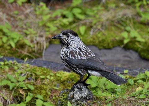 ホシガラス幼鳥3632