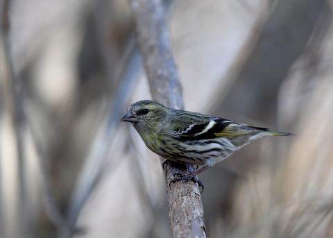 マヒワ若鳥3683