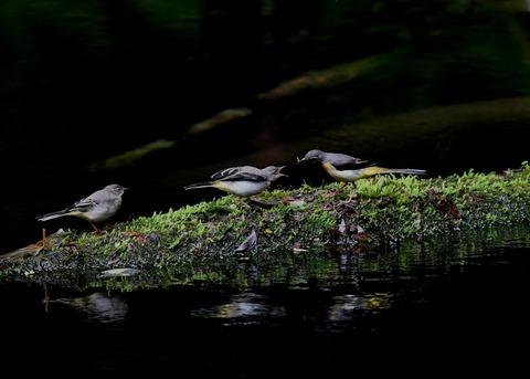 キセキレイ幼鳥8199